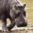 hippopotamus1